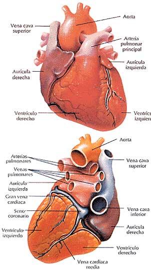 Lo que debe saber sabre la enfermedad cardiovascular